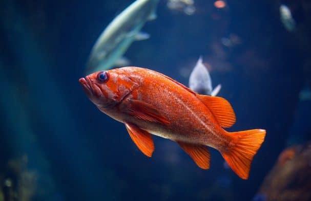 Названия рыб на английском языке